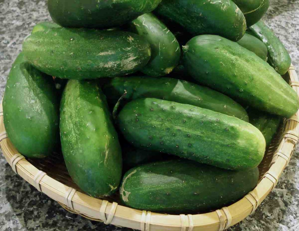 Fresh Short Cucumber